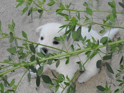 Pongo trapped in the jungle at 3 weeks (Brinkley)