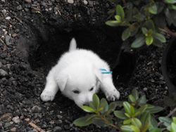 Simba helps plant a new rhodendrum - not! (Maverick)