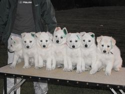 7 little puppies all in a row (lined up after aptitude testing and tattoos 14 July '09)