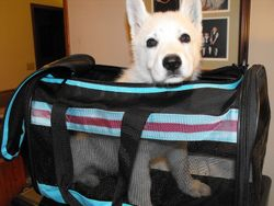 testing a travel kennel for Nika (yellow collar female)