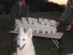 Atlas' 8th litter - Dakota's 1st at Eclipse Kennels after being tested and tattooed