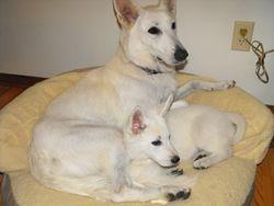 Dakota and Nika (yellow collar female - Tinker)