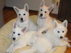 Dakota and Atlas' girls - Nika (Tinker), JaDen (Lady), Jasmine, Nala