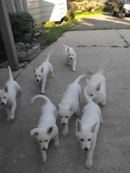 the Atlas / Dakota litter @ 8 weeks and ready for new homes - come 'ere puppies!