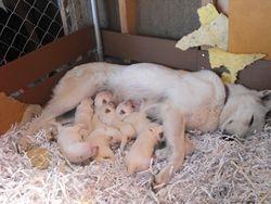 puppies nursing @ 1 week