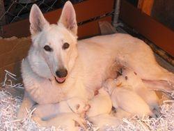 Dakota nursing puppies @ 1 week