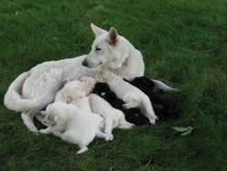 Dakota with 7 of the 10 pup born May 2010