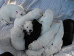 puppy pile #1 @ 2 - 1/2 weeks