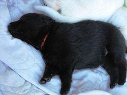 sleeping Baire @ 2 - 1/2 weeks (orange ribbon female)