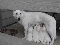 Dakota nursing pups standing @ 4 weeks