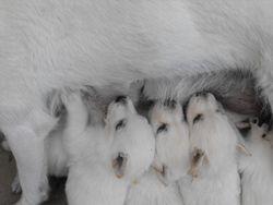 pups nursing @ 4 weeks
