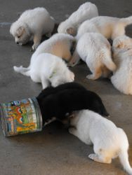 puppies discover the food set out for Diamond and Dakota
