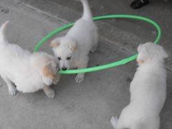 ring around the rosie puppy style