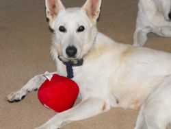 regal looking Diamond with a new favorite squeaky toy