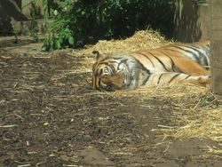 Sleeping Tiger at London Zoo