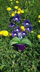 Orhideja iz najlonk: TEMNO VIJOLICNO - BELA