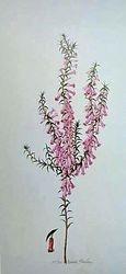 Pink Heath $25