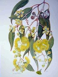 Lemon Flowered Gum $25