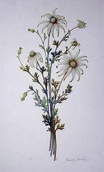 Flannel Flower $60