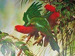 King Parrots $60