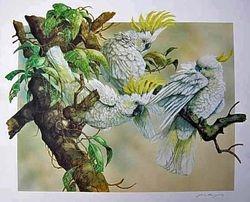 Sulphur Crested Cockatoos $95