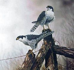 Peregrine Falcons $100