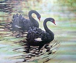 Black Swans $50
