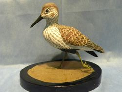 Dunlin Shorebird