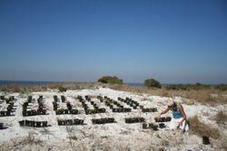 Installing transplants into restoration plots