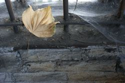 Cobwebs and Leaf