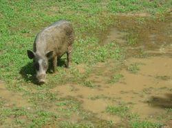 Goa piggy