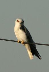 Black Shouldred Kite