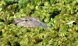 Krokodile at Anjuna Pond 2012