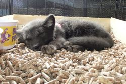 Sapphire the blue phase arctic fox