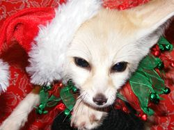 Akiko the Festive fennec fox