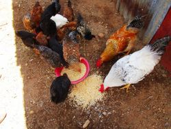 Chickens were hungry, too