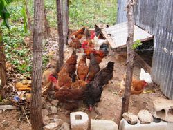 The chickens are doing well
