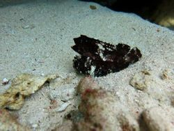 Leaf scorpion fish