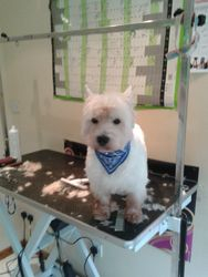Bertie Westie After