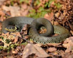 Grass Snake, taken at the Owlets reserve early May 2013.