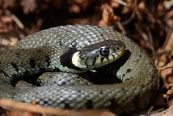 Grass Snake, taken at the Owlets reserve May 2013.