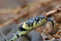 Close up to a Grass Snake, taken at the Owlets reserve May 2013.