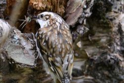 Tree Creeper entering the nest with food for the chicks.