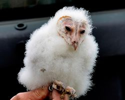 Barn Owl Chick After Being Ringed - Only A Mother Could Love That Face
