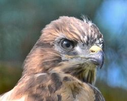 Close Up Of Young Buzzard Messingham