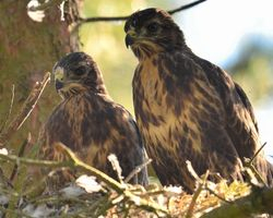 Pair Of Buzzard Chicks About Ready To Leave The Nest Messingham