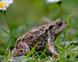 Toad At Messingham Sands