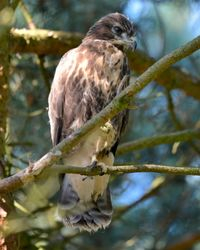 Young Buzzard Perched Above The Nest Messingham