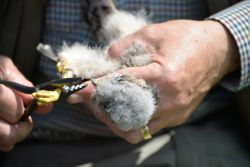 Barn Owl Chick Being Fitted With Ring