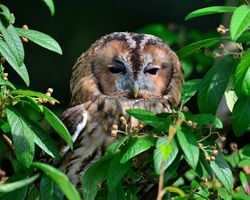 Tawny Owl East Stockwith September 2013.